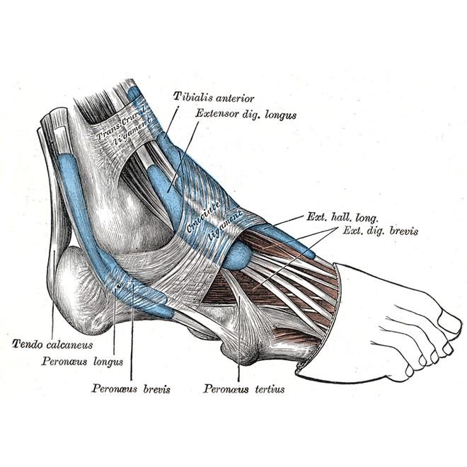 tendones tendinitis: